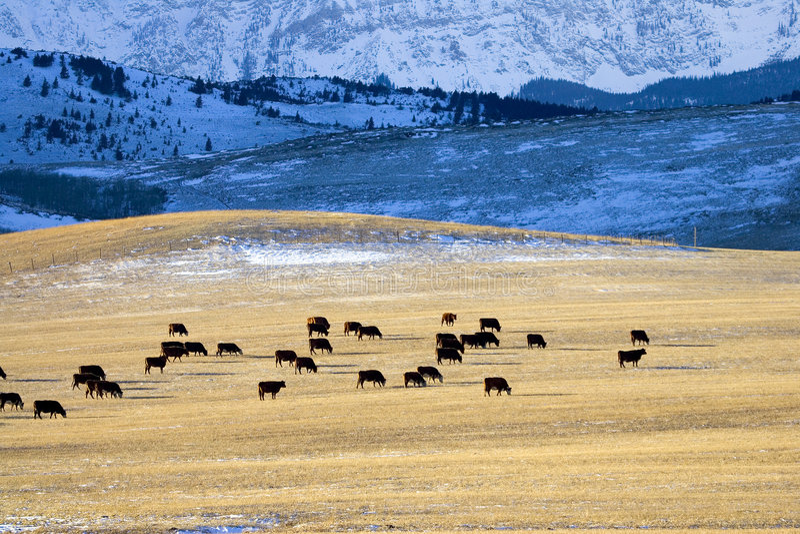 Download On the range 2 stock photo. Image of feeding, animals, alberta - 465004
