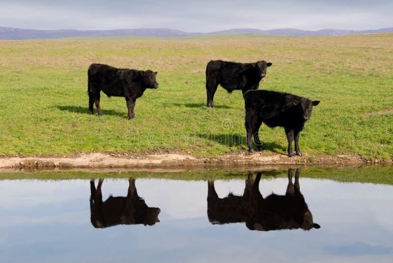 Range Cows Reflection stock photos