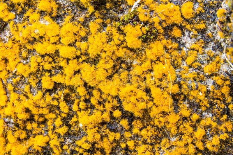 Rangiferina di cladonia o lichene di renna fotografia stock libera da diritti