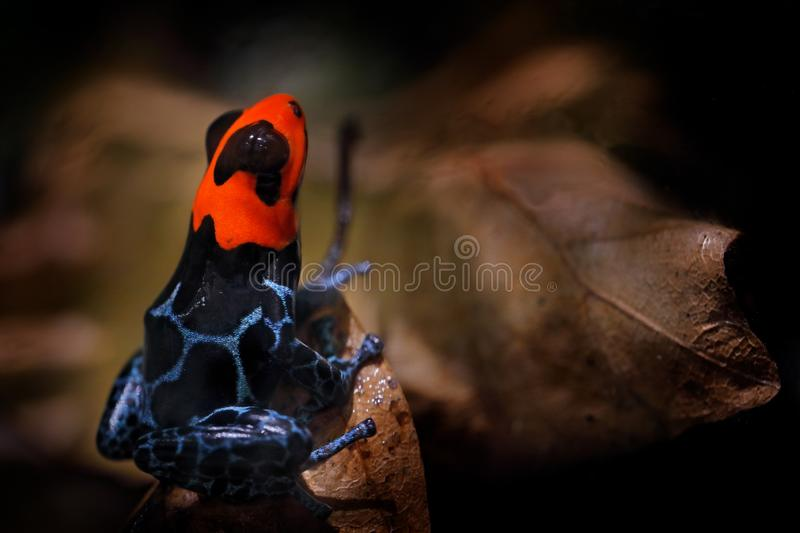 Ranitomeya benedicta, Blessed Poison dart frog in the nature forest habitat. Dendrobates danger frog from central Peru  and Brazil. Beautiful blue and red stock photo