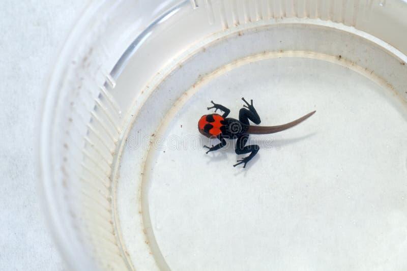 Ranitomeya benedicta tadpole zdjęcia royalty free