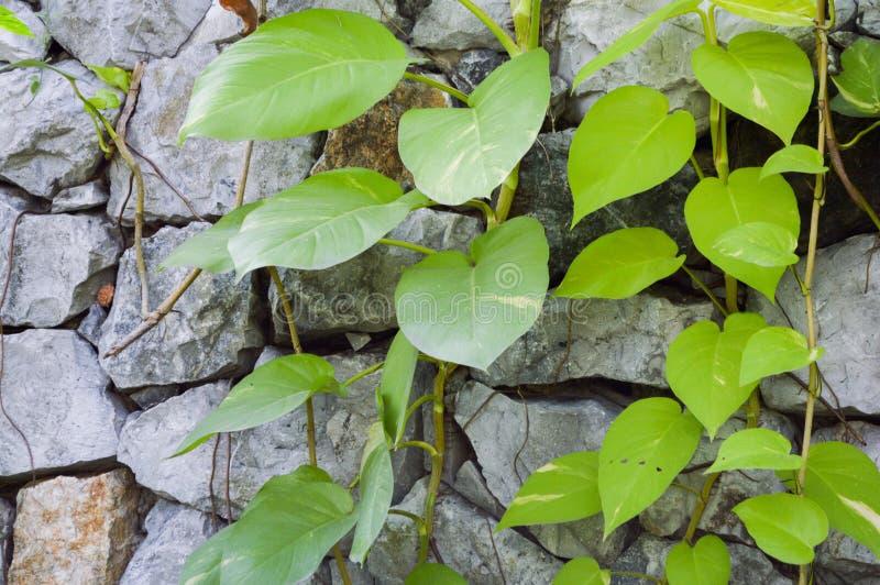 Rankaväxt på stenväggen arkivbild