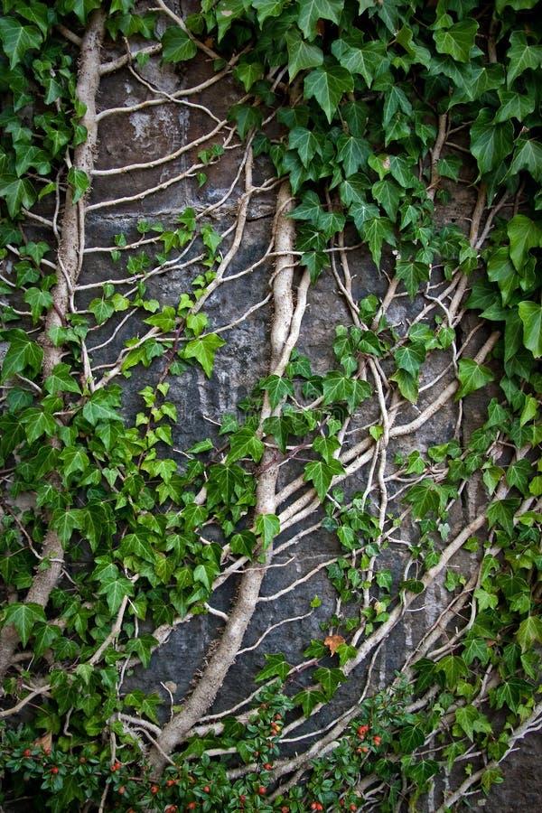 rankaväxtvägg royaltyfri foto