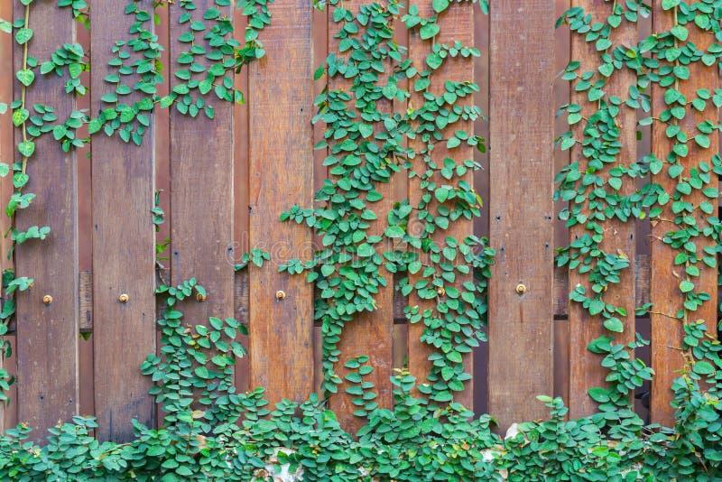 Ranke, Weinblätter auf hölzernem Wandhintergrund lizenzfreies stockfoto