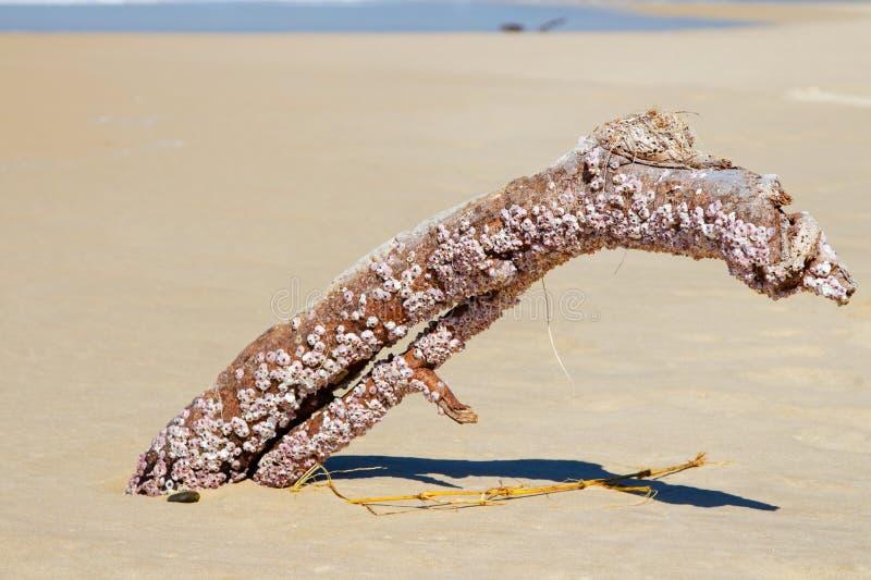 Rankenfußkrebs bedeckte Holz auf Strand in Australien stockfotos