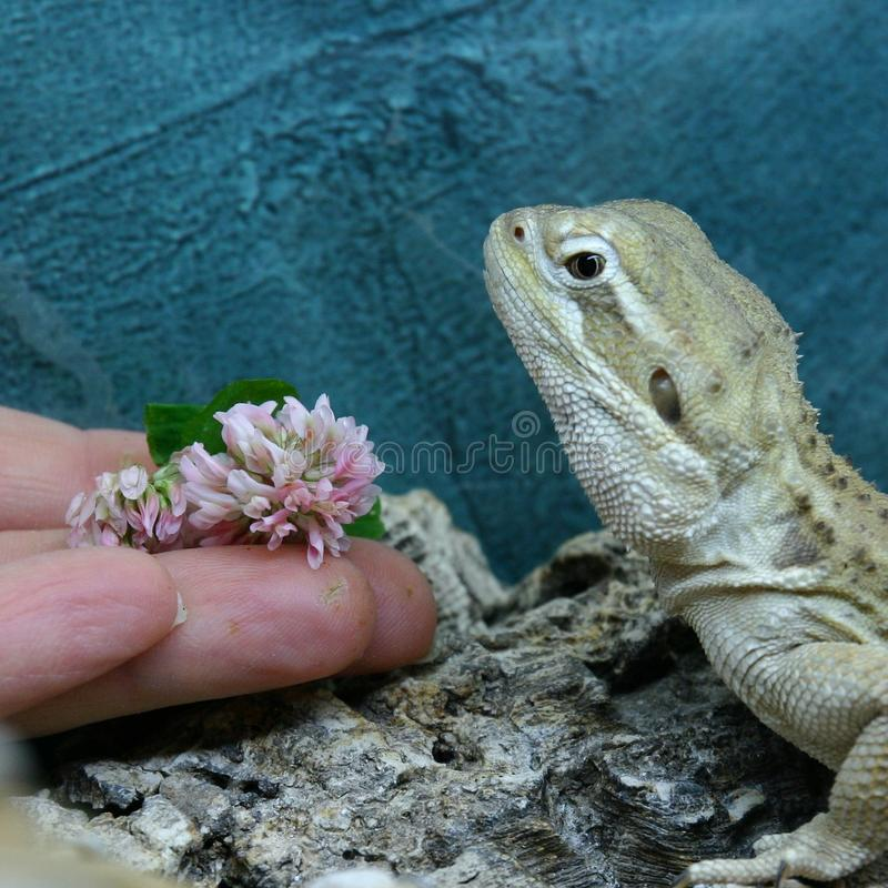 A rankin`s dragon does not want to eat a white clover flower royalty free stock photo