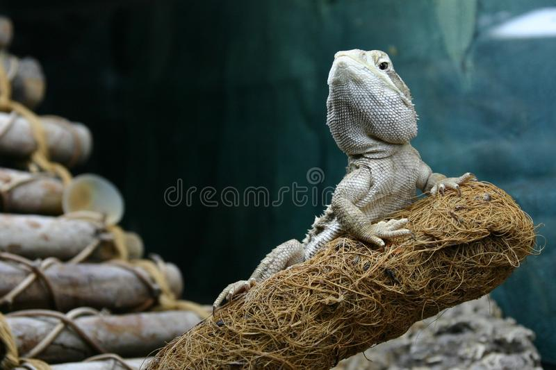 A rankin`s dragon is resting on a branch looking noble royalty free stock images