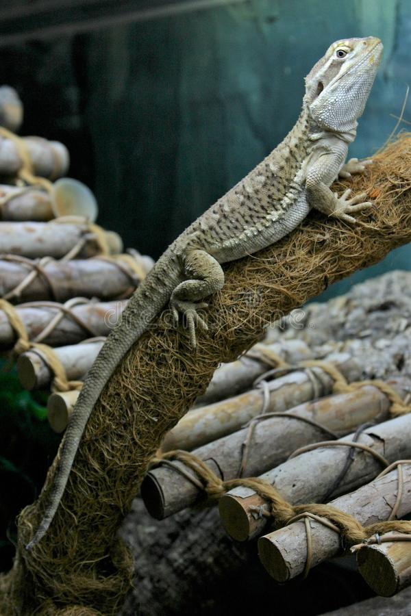 A rankin`s dragon lizard is resting on a branch in a terrarium stock image