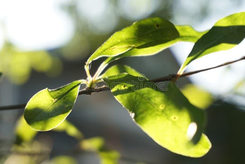 Ranku światła słonecznego zieleni brutto obrazy stock