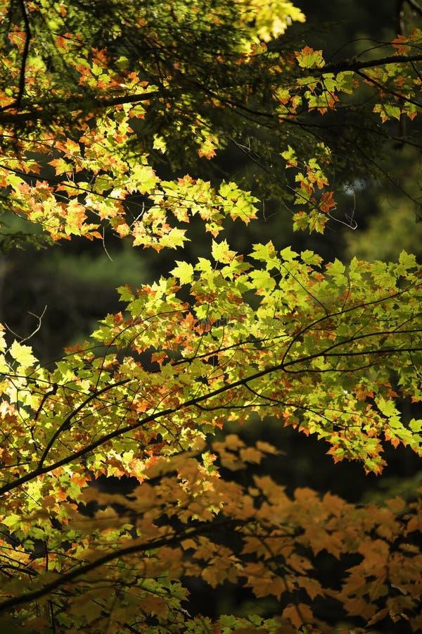 Ranku światło na spadków liściach obrazy stock