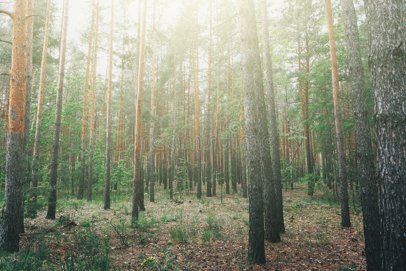 Ranku światło w lesie i mgła, las z drzewami, natura park obrazy royalty free