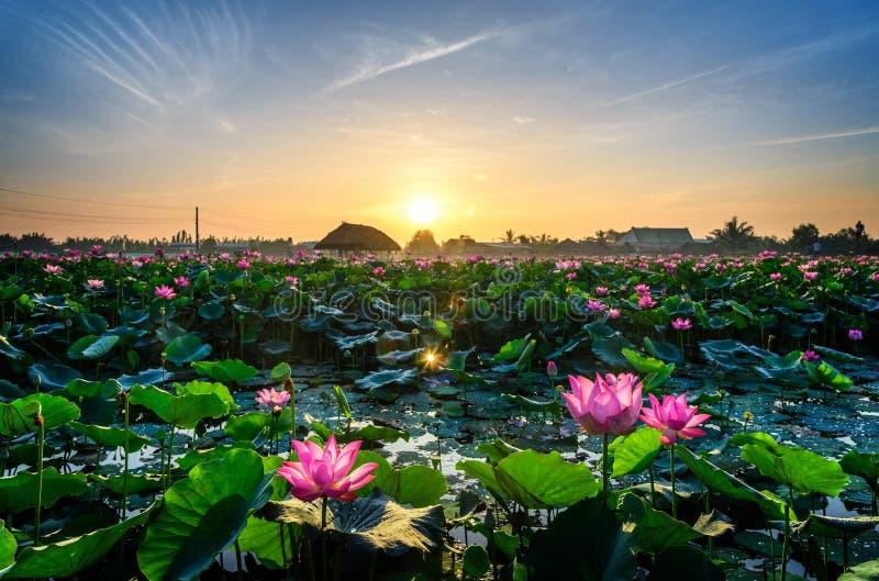 Ranku lotosowy kwiat obraz stock