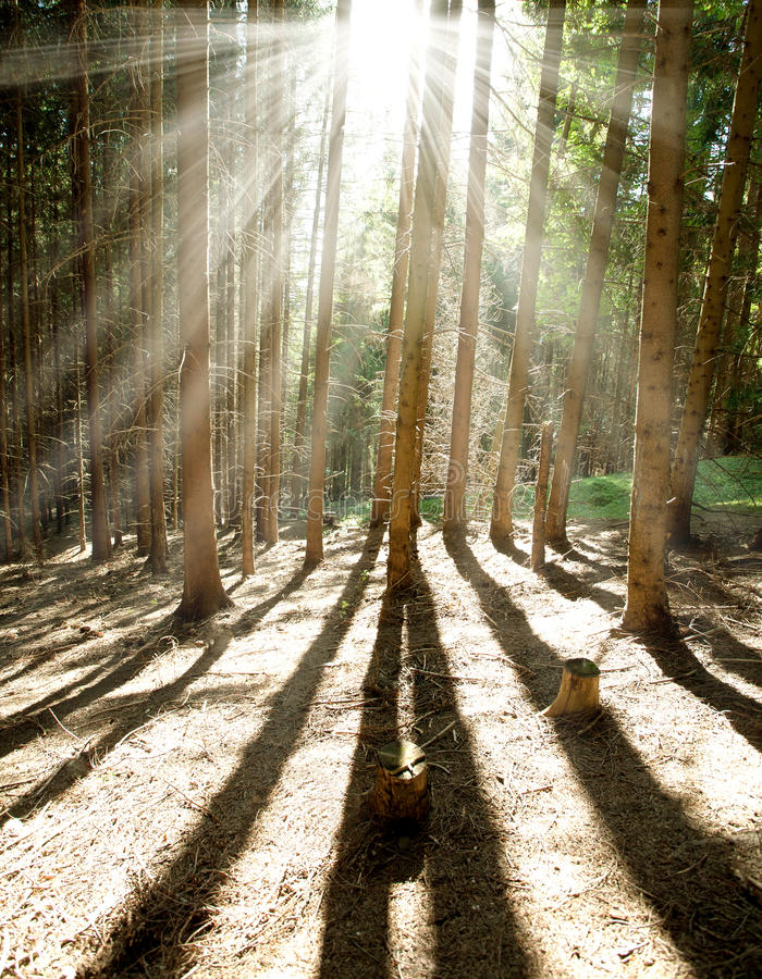 Ranku sosnowy las w słońce olśniewających promieniach zdjęcie royalty free