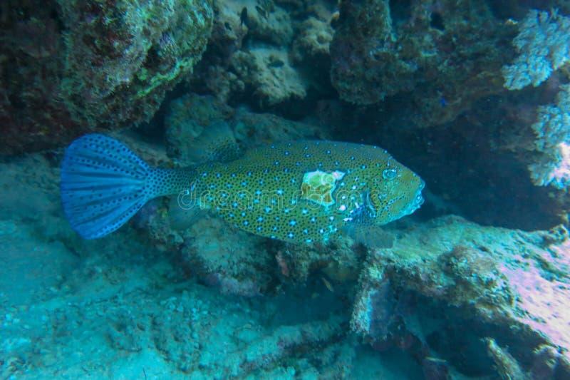 Ranny Żółty bokser ukrywa się w bezpiecznym zawieszeniu koralowców straci na kubiku zaatakował drapieżnik morski, ale... zdjęcie royalty free