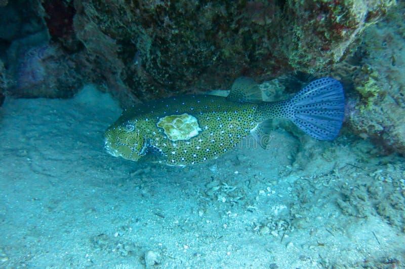 Ranny Żółty bokser ukrywa się w bezpiecznym zawieszeniu koralowców straci na kubiku zaatakował drapieżnik morski, ale... obrazy royalty free