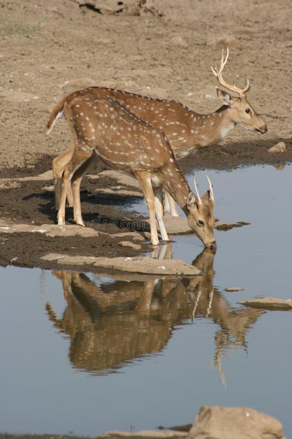 ranthambhore för chitalsindia nationalpark arkivbild