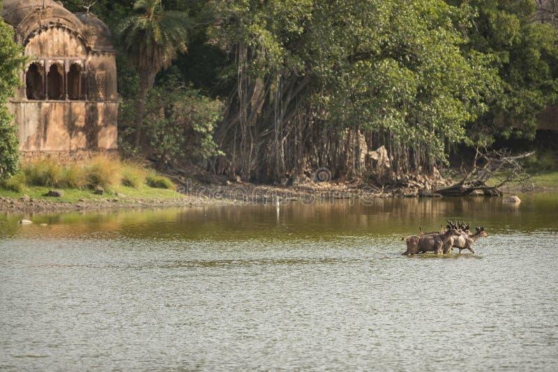 Ranthambhore nationaal park in Indische staat van Rajasthan royalty-vrije stock afbeelding
