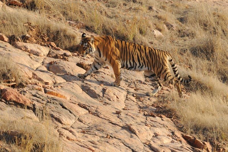 Ranthambore India De wilde tijger jacht stock fotografie