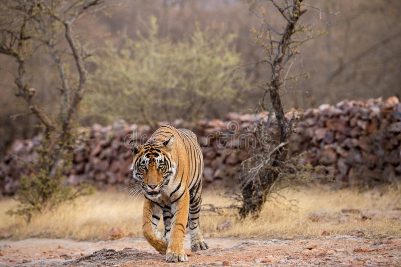 Wild male bengal tiger veeru or T109 on evening stroll. He died today in territorial fight with another male tiger T42 stock photos