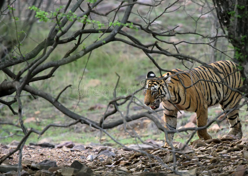 Ranthambore tiger emerging from bushes royalty free stock image