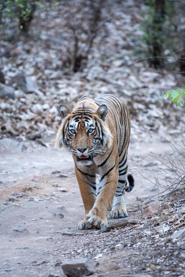Wild Male bengal tiger head on an evening walk on a jungle track at ranthambore national park. Ranthambore Wild Male Bengal Tiger head on an evening walk and stock photos