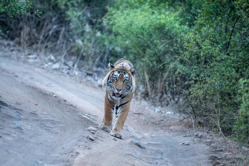 Wild Male bengal tiger head on an evening walk on a jungle track at ranthambore national park. Ranthambore Wild Male Bengal Tiger head on an evening walk and royalty free stock images