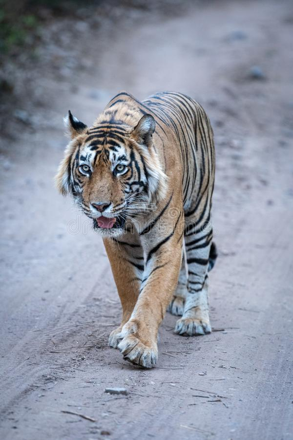 Wild Male bengal tiger head on an evening walk on a jungle track at ranthambore national park. Ranthambore Wild Male Bengal Tiger head on an evening walk and stock images