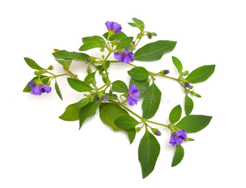 Rantonnetii de Lycianthes, le buisson bleu de pomme de terre ou morelle du Paraguay. D'isolement sur le fond blanc photo stock
