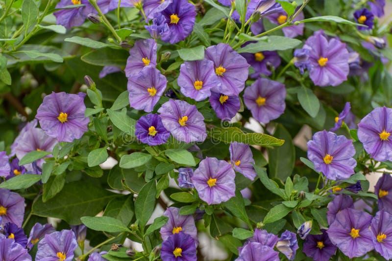 Rantonnetii de Lycianthes, o arbusto azul da batata, nightshade de Paraguai, rantonnetii do Solanum Planta de florescência de Ámé imagem de stock royalty free