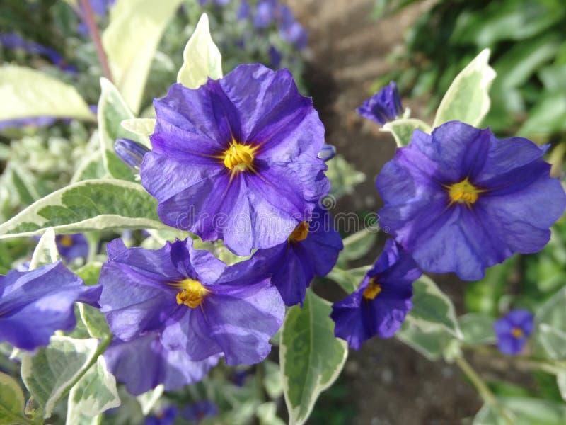Rantonnetii 'Variegata' de Lycianthes, traje 'Royal Variegata' de Bush de la patata azul imagen de archivo libre de regalías