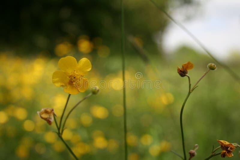Ranuncoli gialli immagini stock