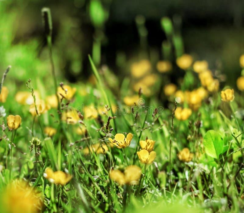 Ranuncoli gialli in erba soleggiata fotografie stock
