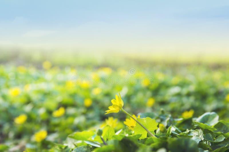 Ranuncoli gialli selvatici contro il cielo immagini stock libere da diritti