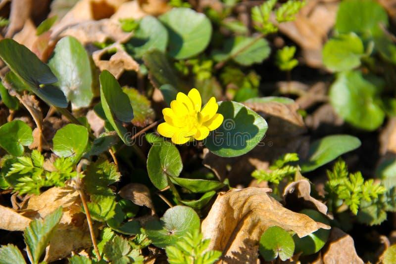 Ranuncoli gialli sul prato immagini stock