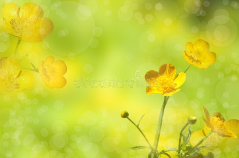 ranuncoli Wildflower giallo immagine stock libera da diritti