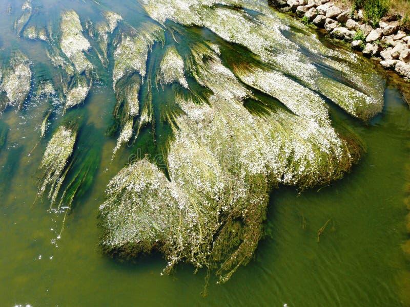 Ranuncolo dei fiumi in fioritura sulla Meuse nei Vosgi fotografia stock libera da diritti
