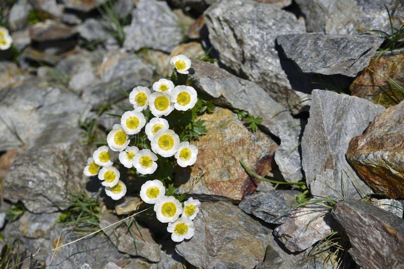 Ranuncolo del ghiacciaio, fiore in Tirolo del sud fotografia stock