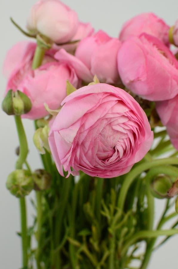 Ranuncolo persiano Mazzo pallido - il ranunculus rosa fiorisce il fondo leggero fotografia stock