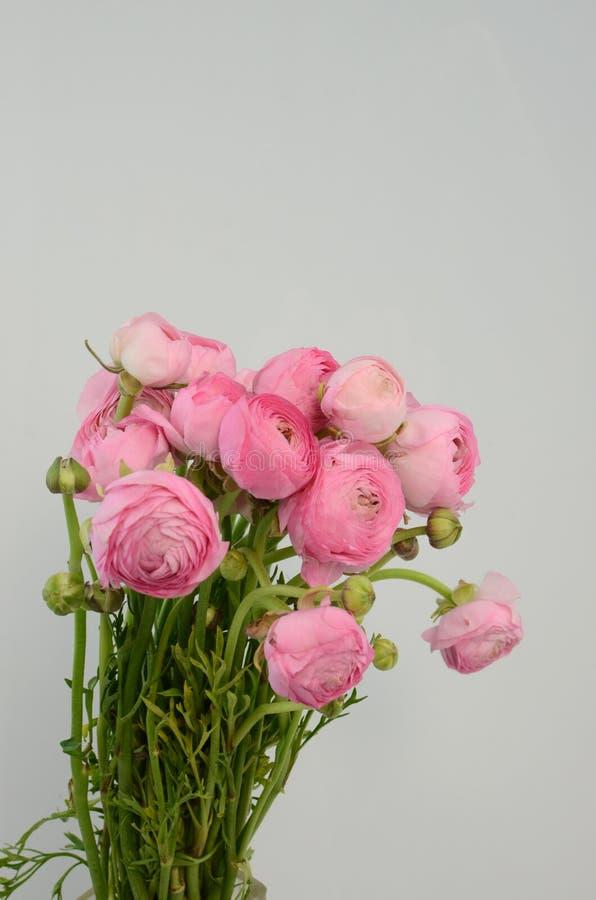 Ranuncolo persiano Mazzo pallido - il ranunculus rosa fiorisce il fondo leggero fotografia stock libera da diritti
