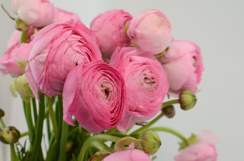 Ranuncolo persiano Mazzo pallido - il ranunculus rosa fiorisce il fondo leggero immagini stock