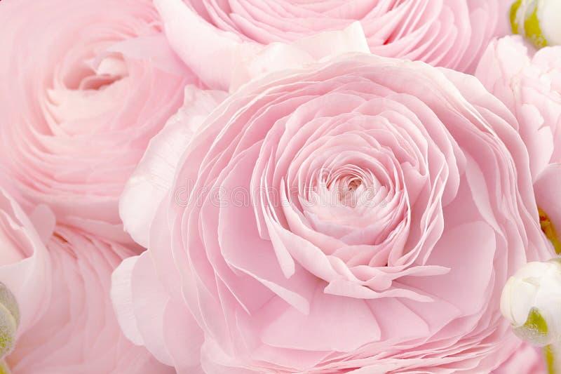 Ranuncolo persiano Mazzo pallido - il ranunculus rosa fiorisce il fondo leggero wallpaper immagine stock libera da diritti