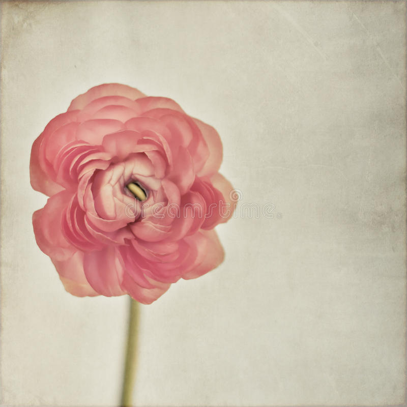 Ranunculus photos stock