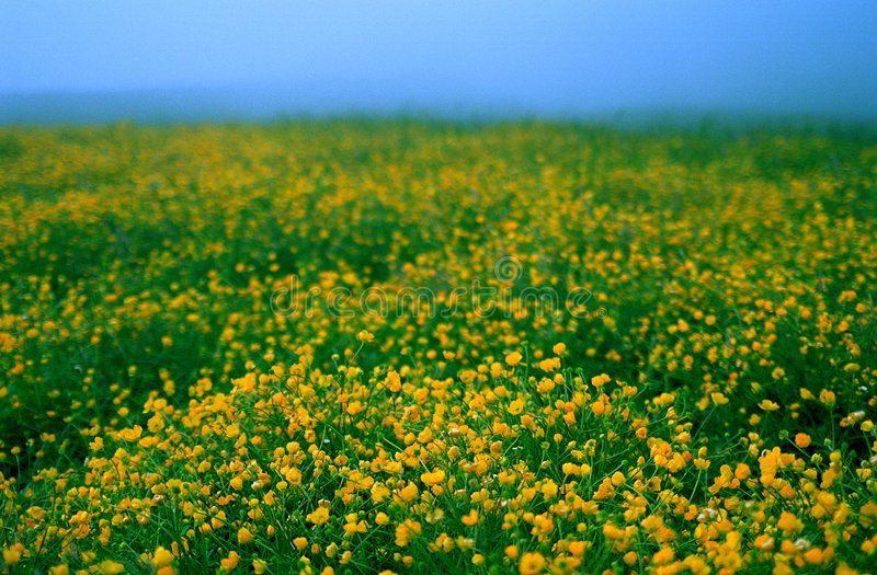 Ranunculus. Field in Caucasus mountains stock photography