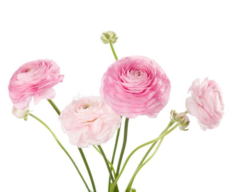 Ranunculus royaltyfri foto
