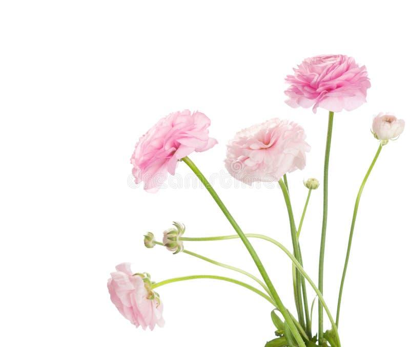 Ranunculus royaltyfri bild