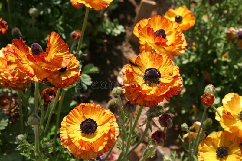 Ranunculus fotografia stock