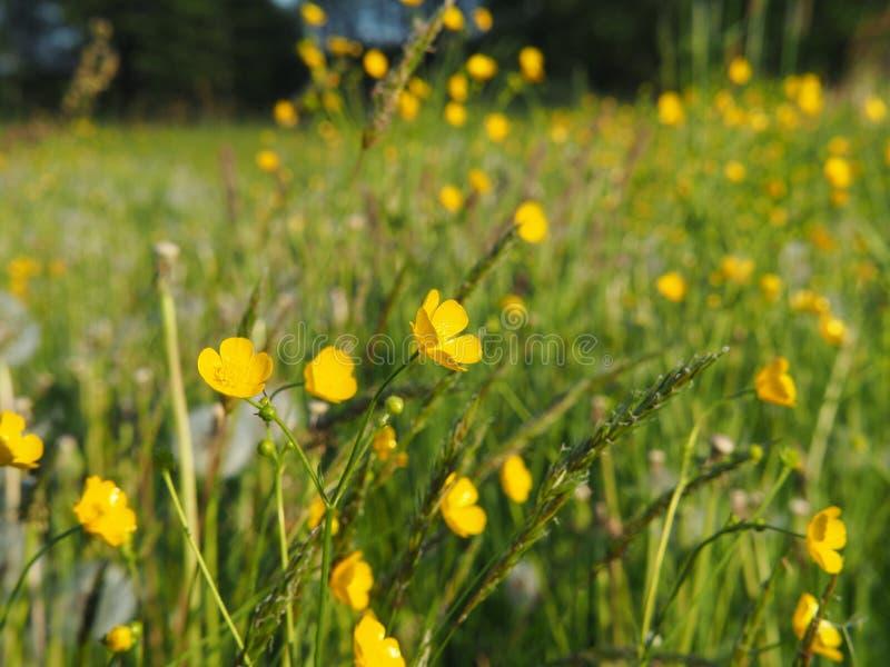 Ranunculus acris - łąkowy jaskier zdjęcie stock