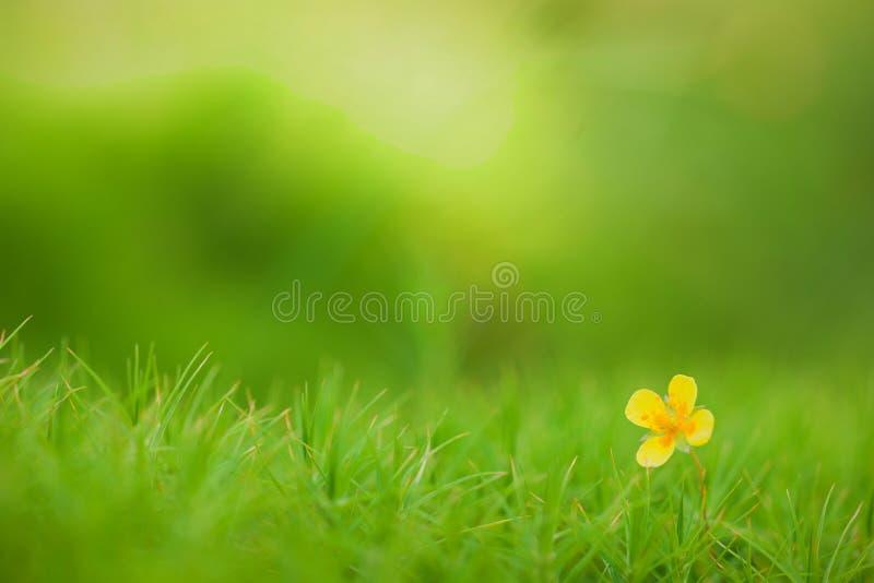 Download Ranunculus acris stock image. Image of blooming, grass - 21118569