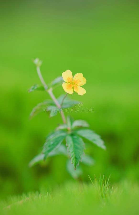 Ranunculus acris royalty-vrije stock foto