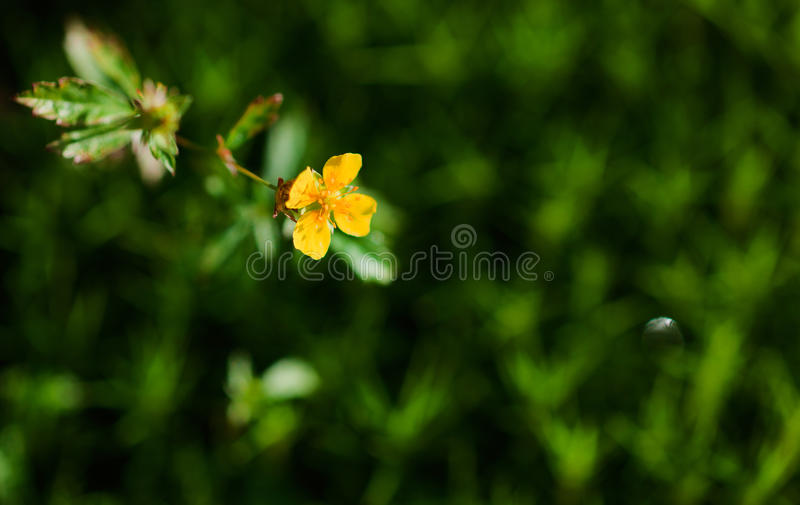 Download Ranunculus acris stock photo. Image of nature, bloom - 21431558